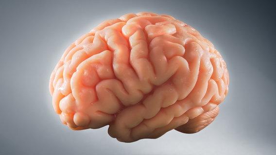 Forscher züchten Menschenhirne aus Stammzellen