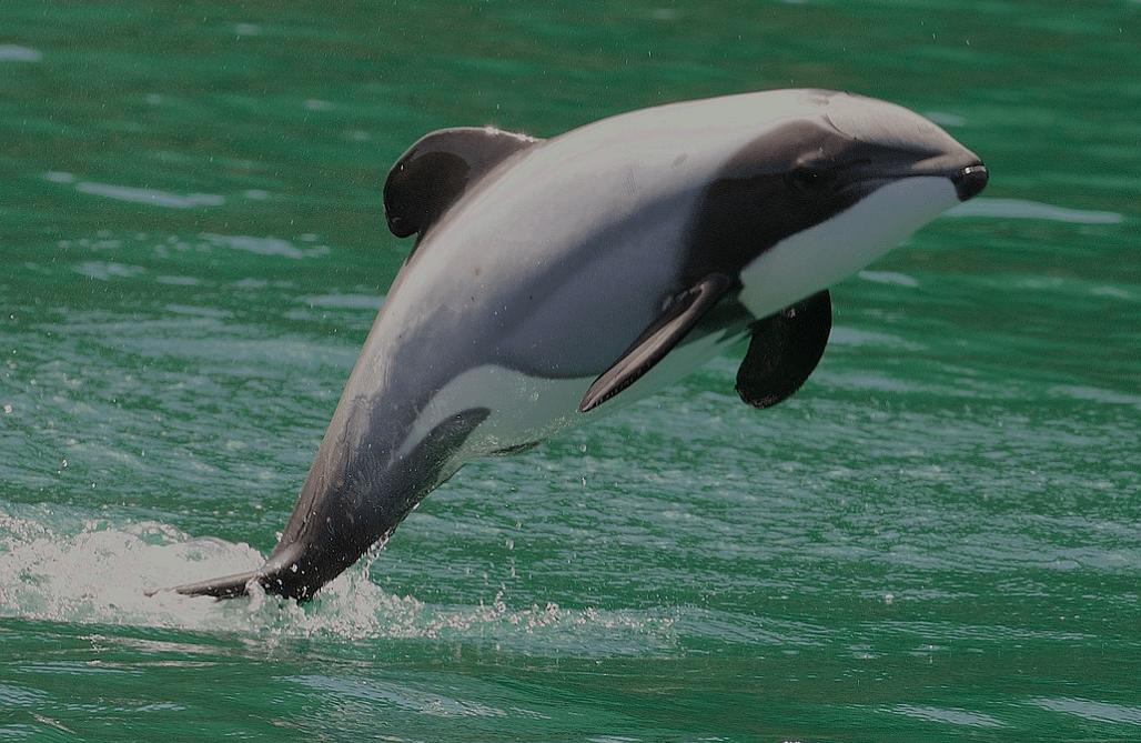 Hector-Delfin